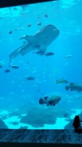 Eckiger Genosse: einer der Walhaie im Georgia Aquarium