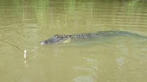 Gator approaching ...