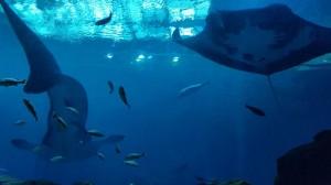 Walhai und Mantarochen vom Tunnel aus gesehen
